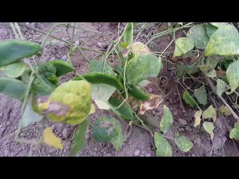 virus en palllar(phaseolus lunatus)