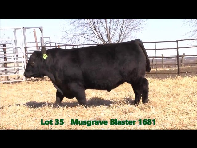 Musgrave Angus Lot 35