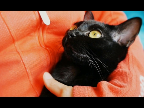 My cute little Bombay Cat Ebony