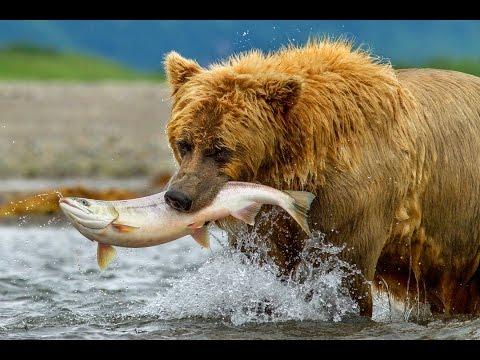 Documentary on Bears - The Road North (Full Length)