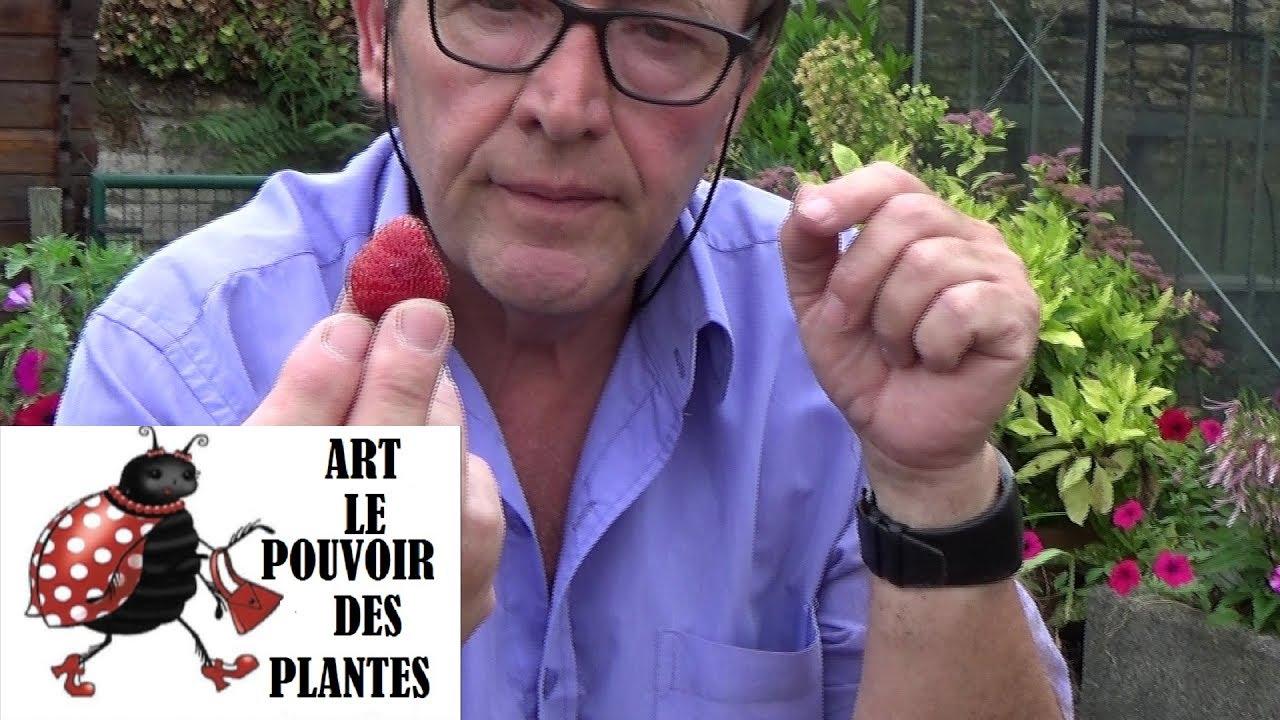 Comment Faire Des Graines De Fraises tuto jardinage: fraises: comment faire un semis: (fraisier) gratuitement en  ville: plante vivace