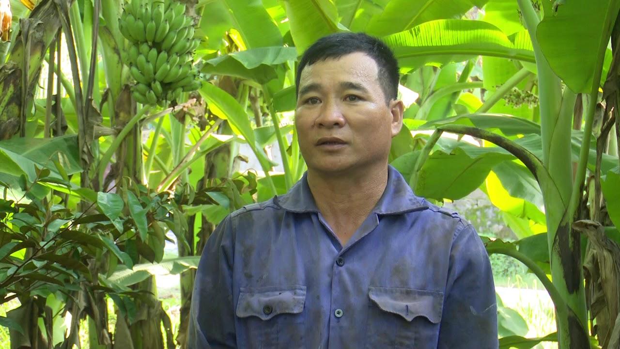Nông dân Đô Lương làm giàu từ cây chuối mật mốc