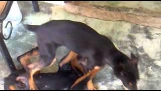 Rottweiler Vs Doberman - Bronco Y Robin