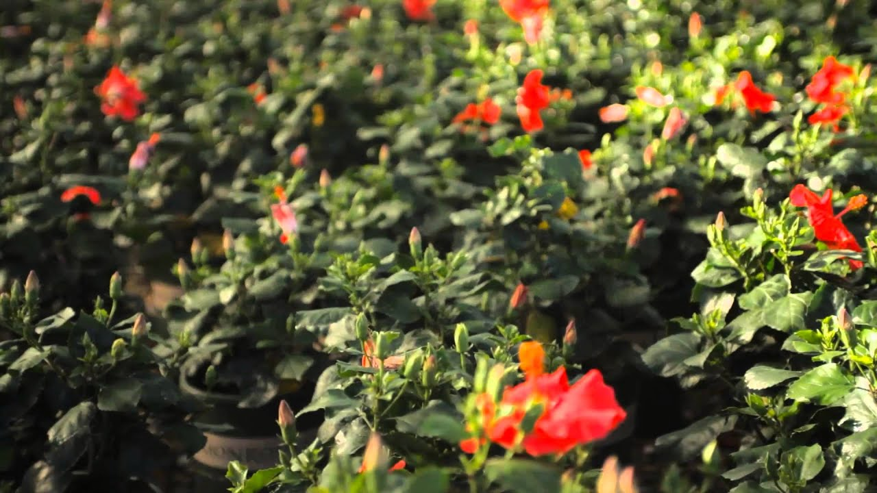 how to maintain a hibiscus hedge fall u0026 winter gardening tips