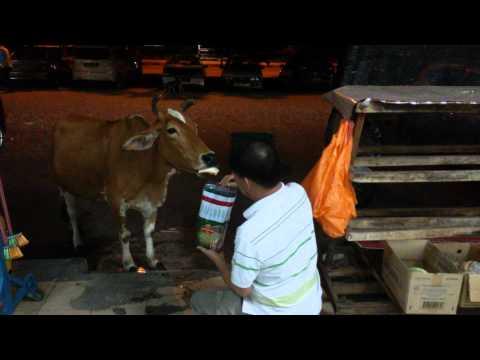 Doggy cow at Bukit Tinggi Klang loves MASSIMO bread & being patted.