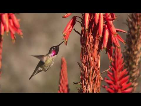West Marin hummingbird observes and reports