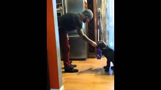 "Cane Corso ""romeo"" Puppy Training @ Home"