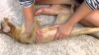 как сделать массаж мочевого пузыря коту