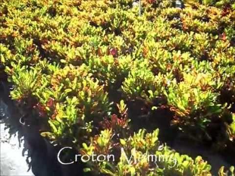 Miami Plant Nursery - Croton Mammy