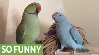 Parakeet brothers speak English to each other