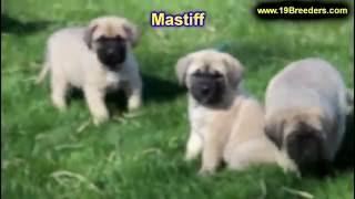 Mastiff, Puppies, For, Sale, In, Albuquerque, New Mexico, Nm, Gallup, Carlsbad, Alamogordo, Hobbs, C