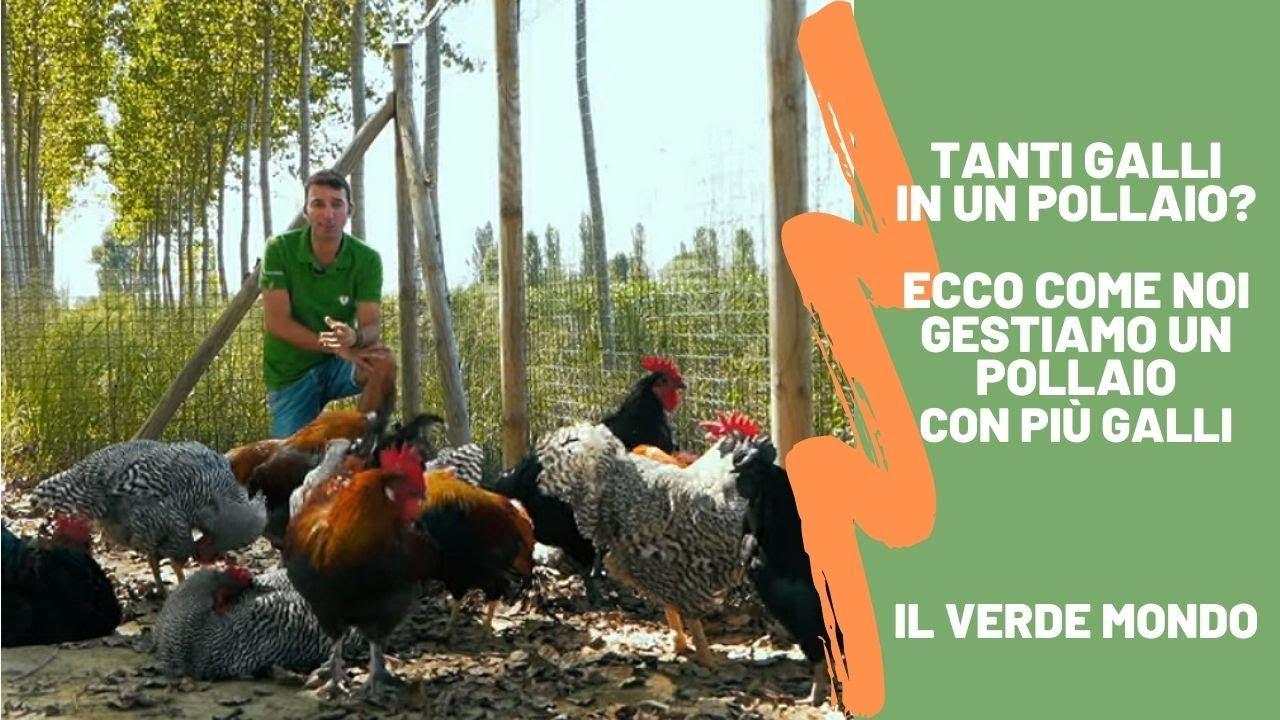 Come inserire nuovi polli nel pollaio? Come gestire più galli nello stesso pollaio?