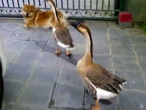 Goose walking back to cage after grooming