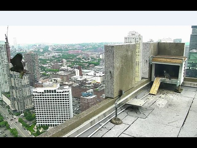 jersey-city-falcon-cam-bd-62-bea-is-back-follows-dad-to-rooftop-7-13-17