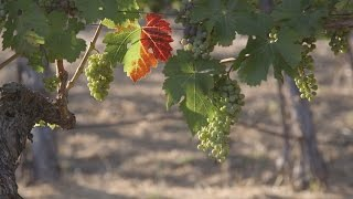 Ginger Zee Uncorks the Mystery Behind Napa Valley's Tasty Wine  | ABC News