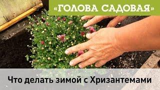 Голова садовая - Что делать зимой с Хризантемами