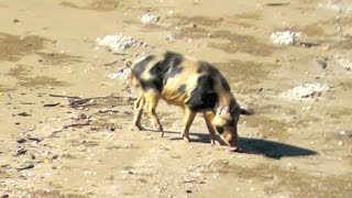 Compound Bow Hunting Beach Hogs / Pigs Andysfishing Boars Hog and Pig EP.147