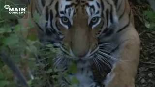 Tiger cub dies. Very sad tiger mother licks dead cub and try to bury it. Tigers need your help.