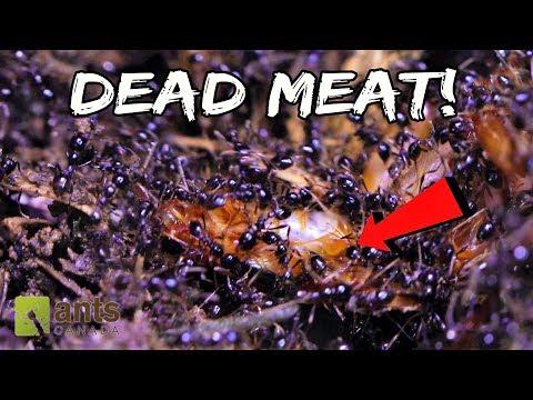 Marauder Ants Devour a Cockroach
