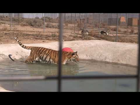 Rescued Tigers Swim For the First Time!