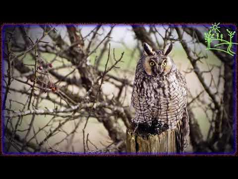 Голоса птиц как поёт Ушастая сова (Asio Otus)