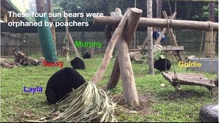 Sun bear orphans finally have the family they've always wanted