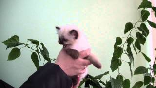 Бирманский котенок Лана Биди