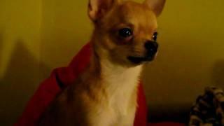 Чихуахуа. Поющая собака / Singing dog. Chihuahua