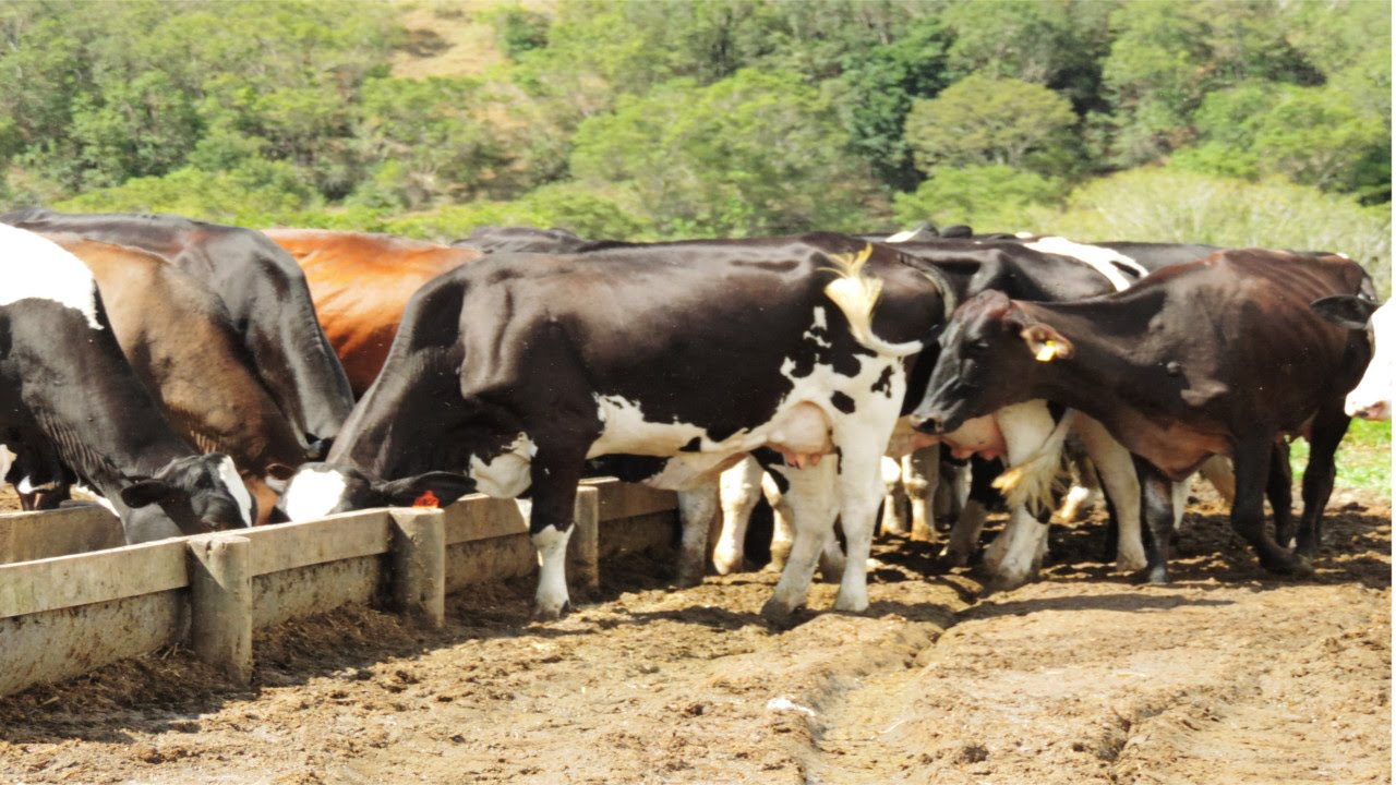 Alimentação de vacas leiteiras em pasto e em confinamento curso online