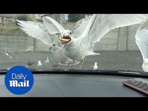 Hungry Seagull Takes An Entire Apple Pie Into Its Mouth