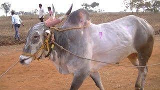 Powerful race bulls of Dhamane Belgaum