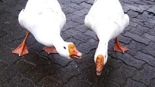 Нападение гусей | эти звери , чуть не съели человека