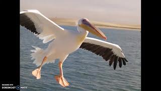 صور مجمعة من أشرف أسامة عن طائر - البجع - Photo - Pelican