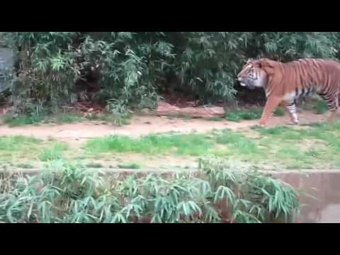 Incredible.. Tiger Roar at the Zoo