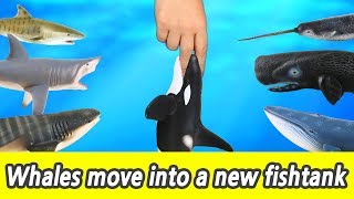 [EN] #76 Whales move into a new fishtank, kids education, Collecta figureㅣCoCosToy