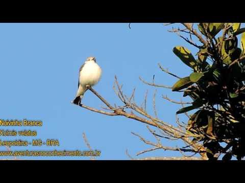 Noivinha-branca (Xolmis velatus) - AVES - BIOLOGIA