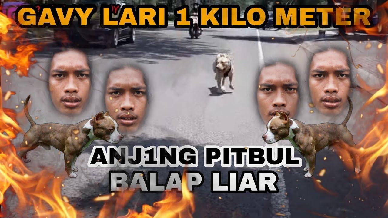 Download DOG PITBULL‼️GAVYERO👊🔥 REINKARNASI PABLITO , GAVY LARI SPRINT DI JALAN RAYA❗