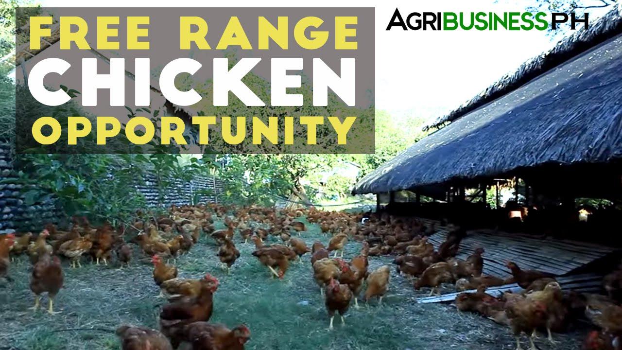 Free Range Chicken Farming In The Philippines Pamora Farm