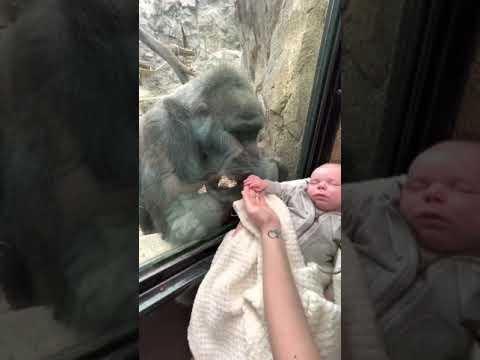 La gorilla dello zoo e la neomamma si mostrano i loro neonati attraverso il vetro: il video commovente