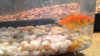 county fair goldfish rescue from horrible conditions