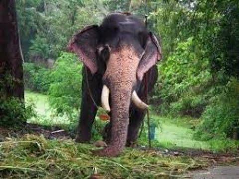 Elephants Punnathoorkotta Guruvayoor elephant sanctuary ...