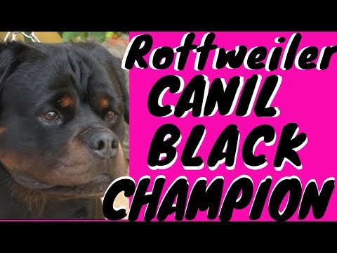 Canil Black Champion   Rottweiler