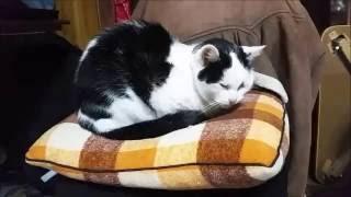 Love cushion Nacchan/なっちゃんはクッションが大好き!