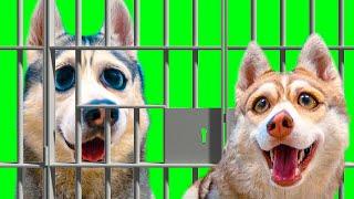 БАНДИТ ДОЛЖЕН СИДЕТЬ В ТЮРЬМЕ!! (Хаски Бублик) Говорящая собака Mister Booble 13+