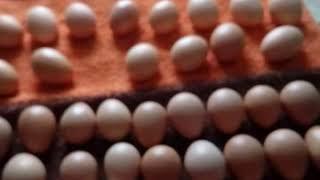 Икубационное яйцо Мастер Грей и цесарки.