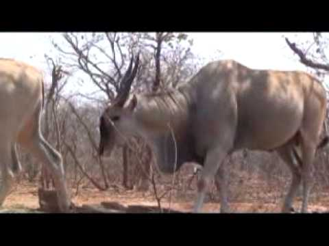 Motsomi Safaris South Africa Crossbow and Rifle Hunting Eland Taylor