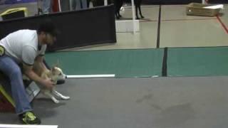 Border Staffy Puppy In Flyball Training.avi