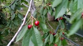 видео Карликовая вишня сорта как выбрать уход