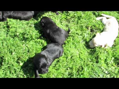 Labradoodle Pups Outside for the first time!