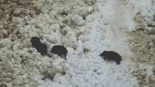 ブナオ山で越冬していたイノシシの群れに雪崩が襲いかかりました。一度...